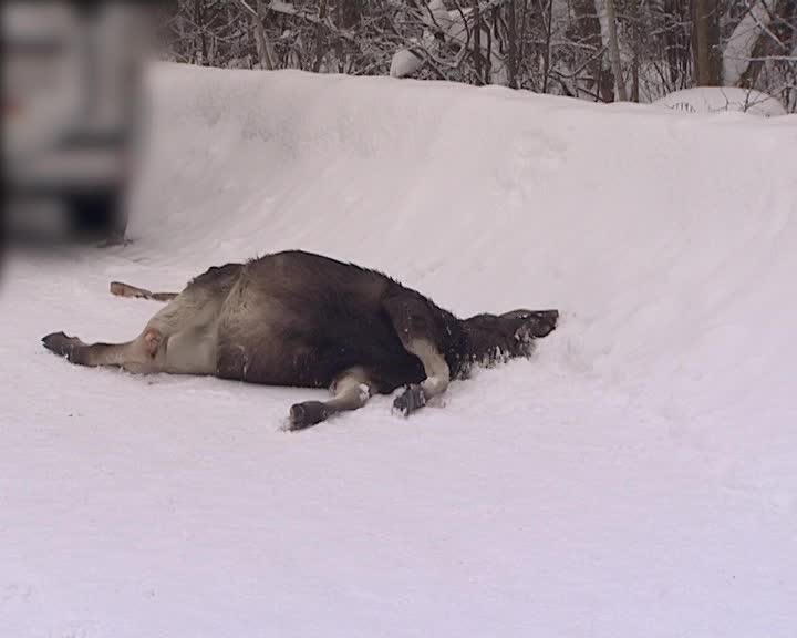 В Костромской области сбили лосенка