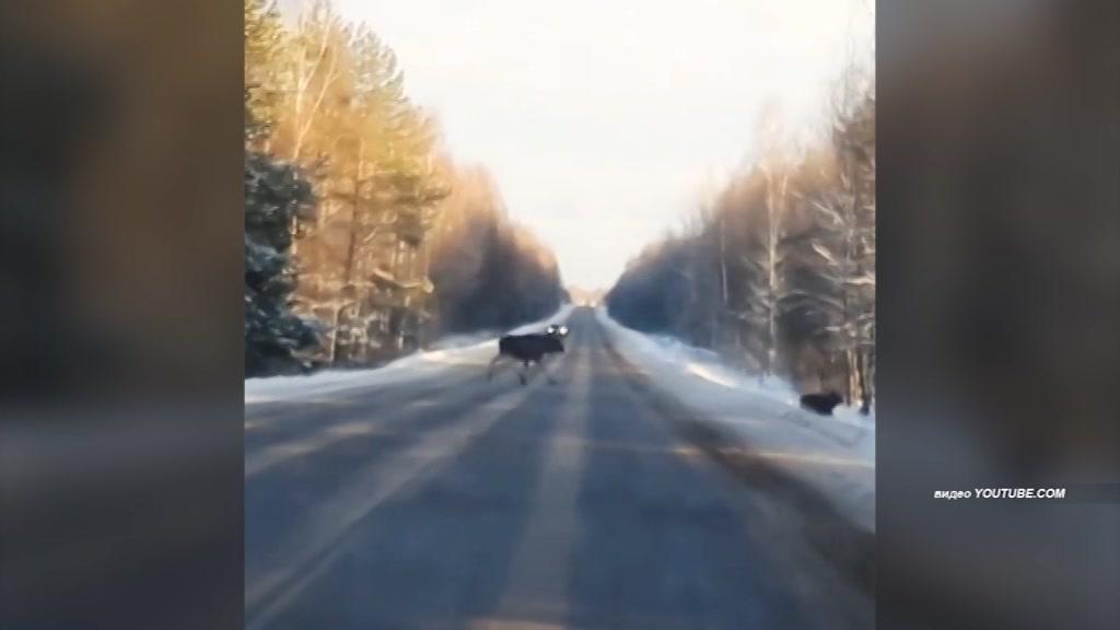 В Костромской области участились случаи выхода лосей на автомобильные трассы