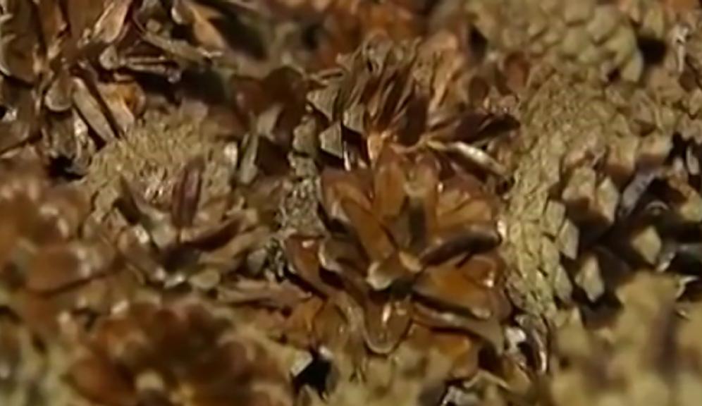 На семена требуются самые отборные шишки