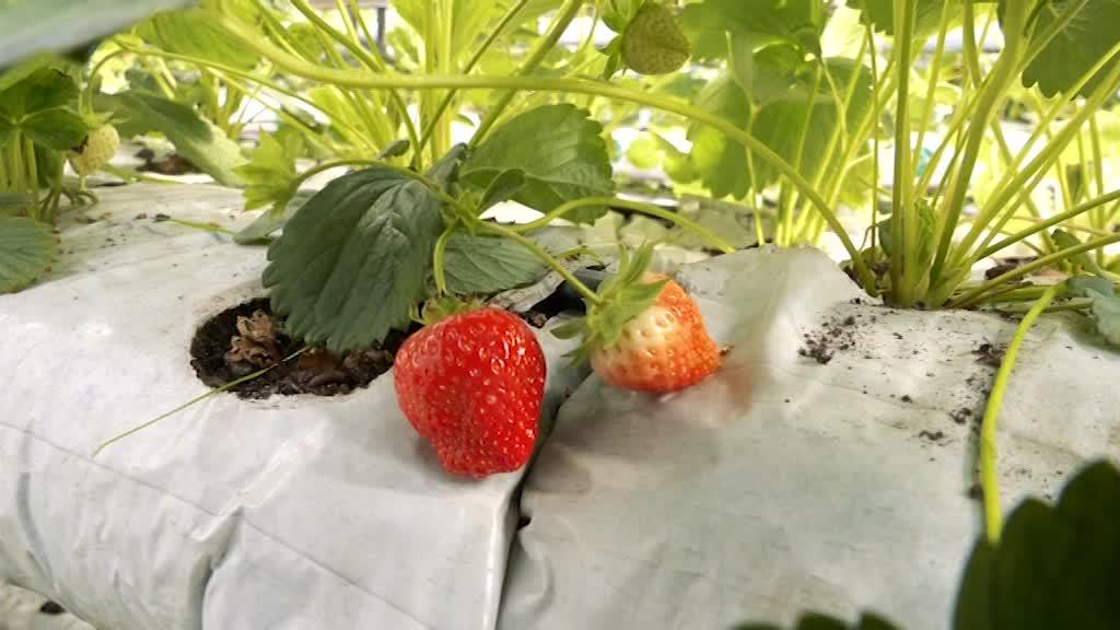 В Костромской области начали выращивать садовую землянику