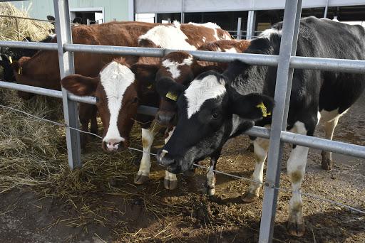 Судиславцы надоили рекордное количество молока