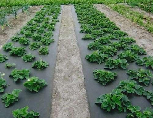 Костромские аграрии планируют расширить ягодные плантации еще на 6 гектаров