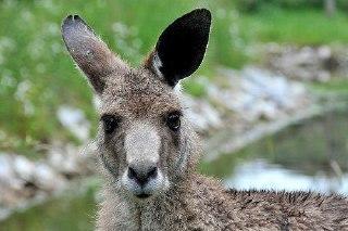 В Костромских лесах видели пропавшего два месяца назад кенгуру