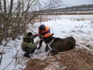 В Костромской области лосиха провалилась под лед